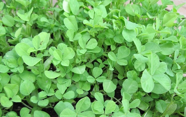 Fenugreek Cultivation.