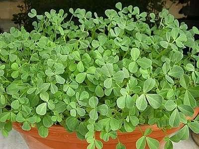 Growing Fenugreek Leaves in Pot.