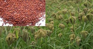 Finger Millet Cultivation (Ragi).