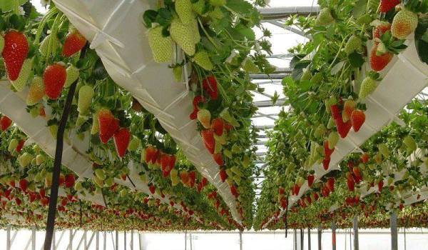 Greenhouse Strawberries.