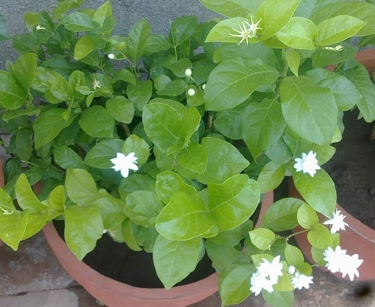 Jasmine Arebia Growing in Pot.