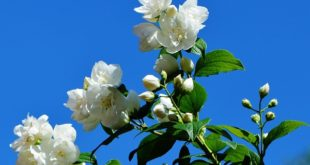 Jasmine Cultivation.