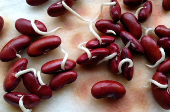 Germinated Red Kidney Beans.