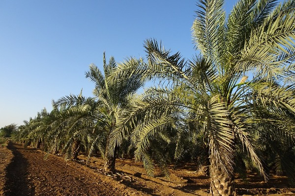 Date Palm Orchard.
