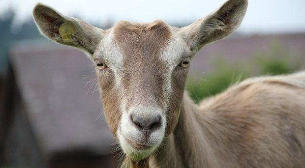 Goat Diseases.