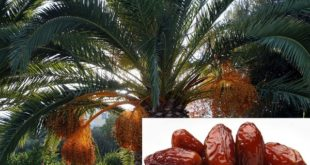 Growing Date Palms.