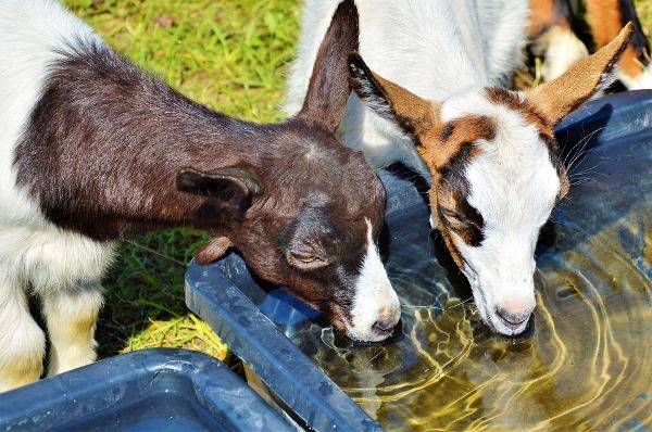 Providing Goat kids with Fresh and Clean water.