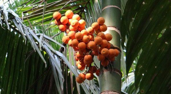 Arecanut Production.