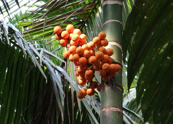 Arecanut Production.