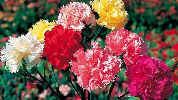 Carnation Flower Growing.