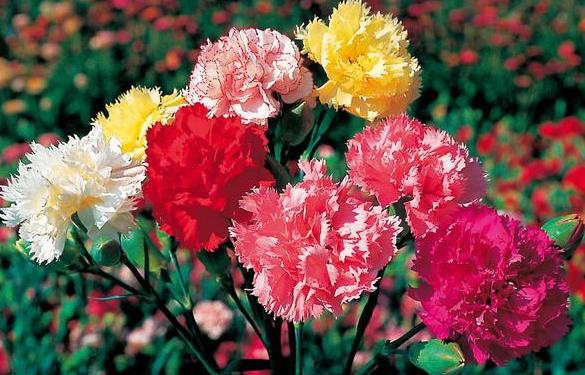 Carnation Flower Growing.
