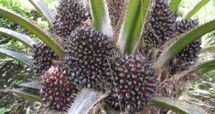 Growing Oil Palms.