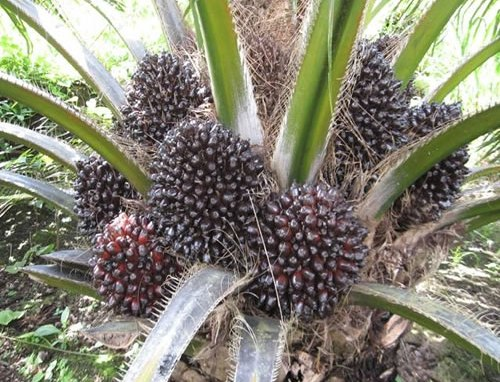 Growing Oil Palms.
