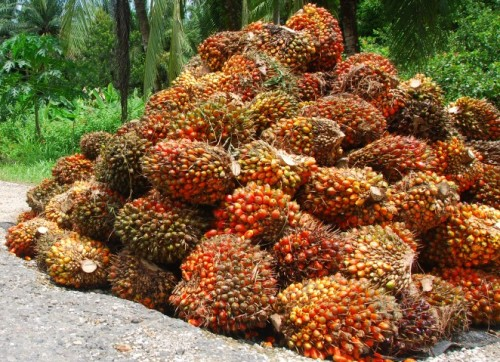 Harvested Oil Palm Fruit Bunches.