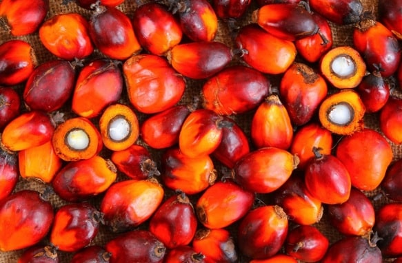 Oil Palm Fruits.