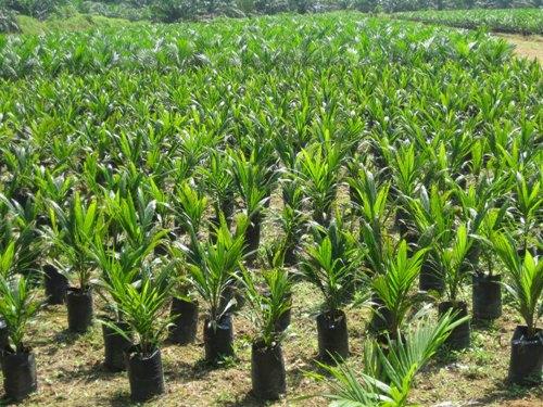 Oil Palm Seedlings.