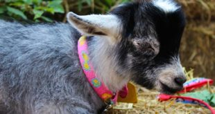 Pet Pygmy Goat.
