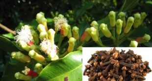 Cloves Growing.