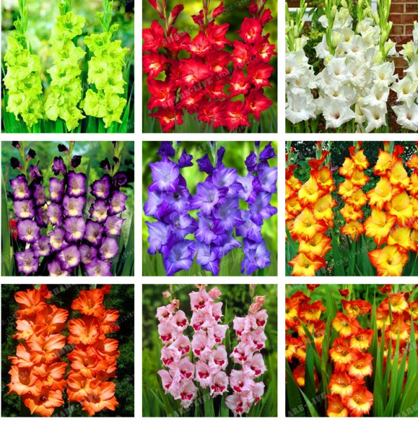 Different Colors of Gladiolus Flowers.