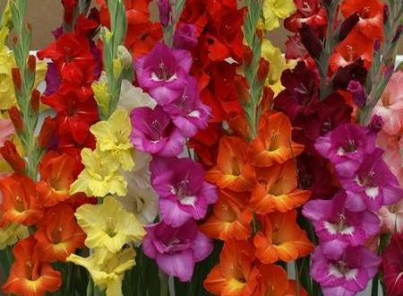 Gladiolus Growing.