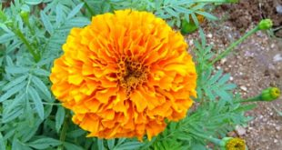 Growing Marigold.