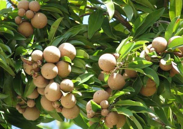Growing Sapodilla (Sapota).