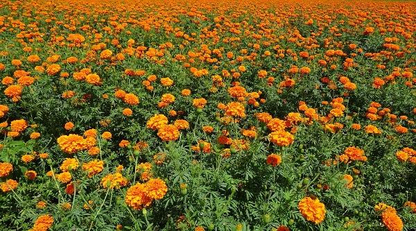 Marigold Plantation.