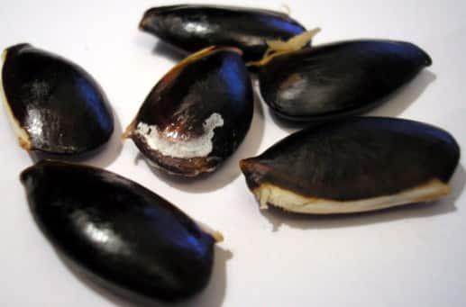 Sapodilla Seeds.