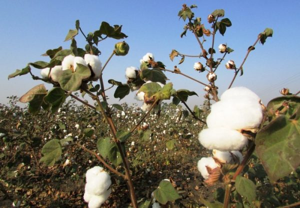 Cotton Cultivation.