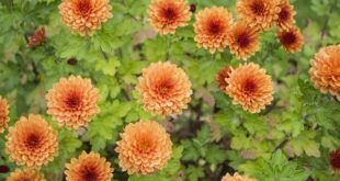 Growing Chrysanthemums.