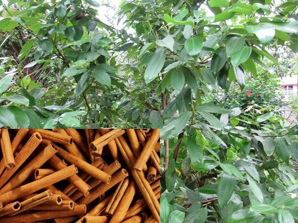 Cinnamon Growing.
