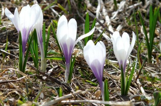 Saffron Corms Sprouting.