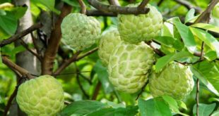 Custard Apple Cultivation.