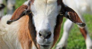 Goat Farming For Beginners