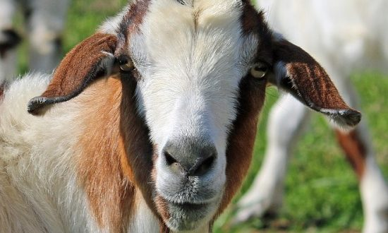 Goat Farming Business For Beginners | Asia Farming