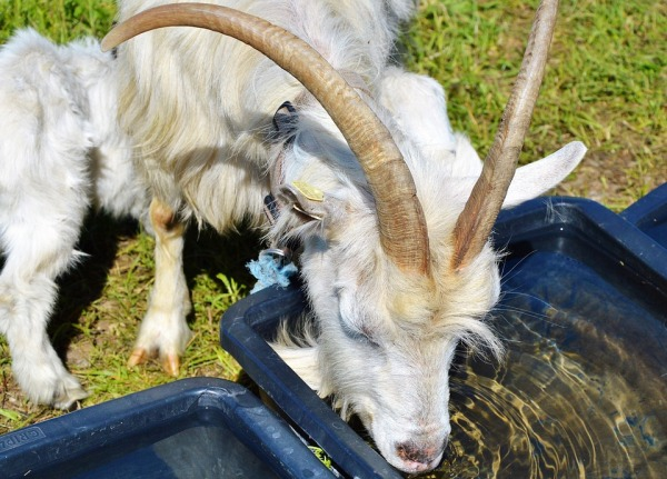 Provide Fresh Water for Goats.