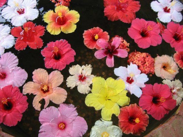 Hibiscus Varieties.