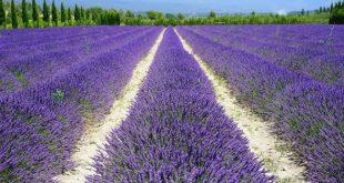 Lavender Farming.