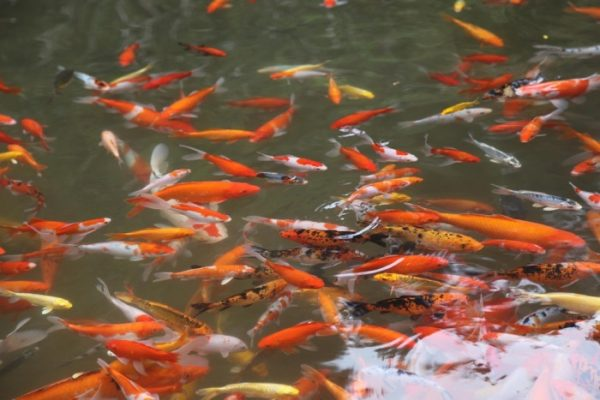 Ornamental Fish Farming.