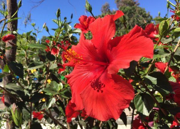 Hibiscus Pruning.