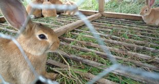 Rabbit Farming Business Plan (Source Via Wikimedia.com).