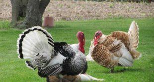 Turkey Farming.