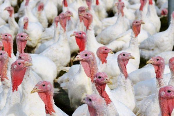 Turkey Breeding Practices.