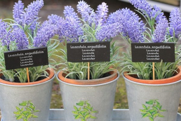 Lavender growing in pots.