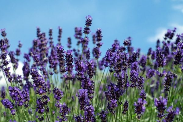 Lavender Harvesting.