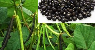 Black Gram Growing and Cultivation Practices.