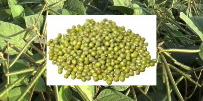 Green Gram Growing and Cultivation Practices.