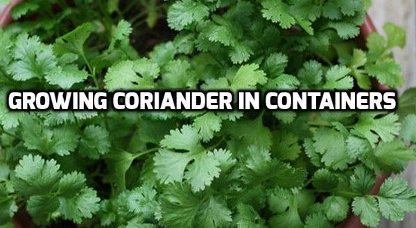 Growing Coriander in Containers.