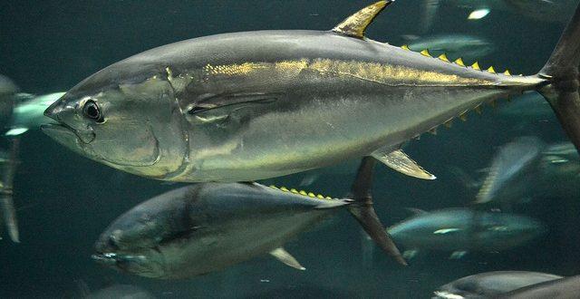 Tuna Fish Care.