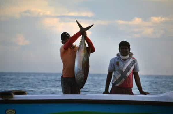 Tuna Fish Harvesting.